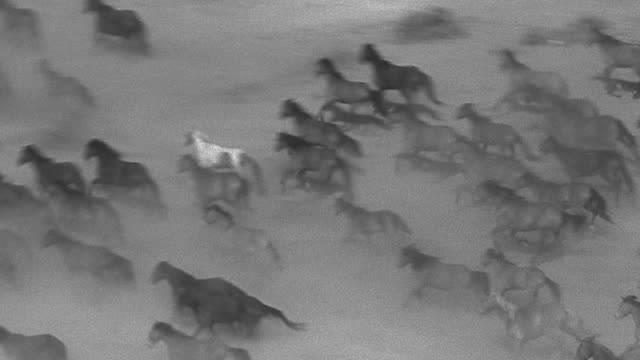 High angle wide shot large group of wild horses stampeding