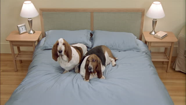 High angle wide shot two Bassett Hounds on bed/ California