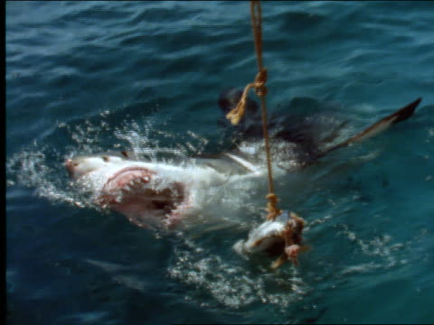 vídeos de stock, filmes e b-roll de high angle zoom in to shark with mouth open on surface of ocean - 2001