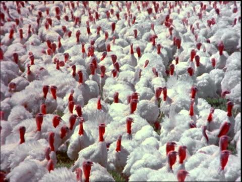 high angle zoom out huge flock of turkeys in field / Brazil