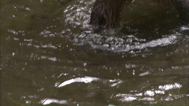 High Angle zoom-in - A Kodiak brown bear wades through a stream looking for fish / Afognak, Alaska, USA