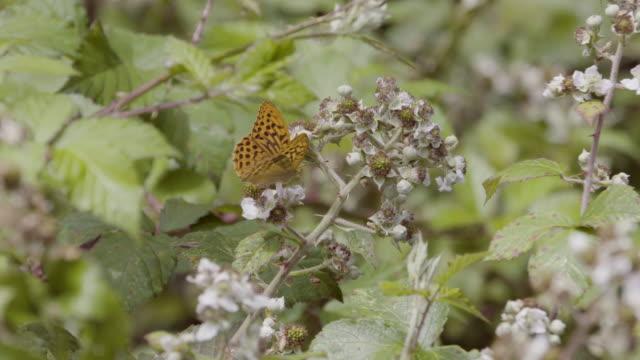 high brown fritillary butterfly (argynnis adippe) sucking nectar from bramble flowers. south downs - hügelkette stock-videos und b-roll-filmmaterial