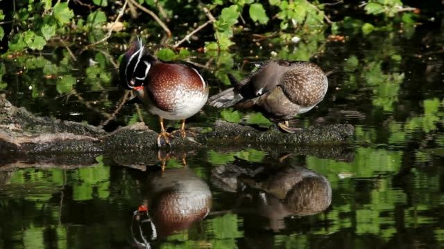 High definition movie of a pair of wood ducks preening themselves and resting on a log while some mallards swim by in a pond with water reflection 1080p