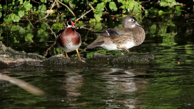 high definition movie of a pair of wood ducks preening themselves and resting on a log in a pond with water reflection in crystal spring rhododendron garden 1080p - rhododendron stock videos and b-roll footage