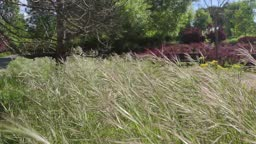 High grass rocked by the breeze in the Canterac Park in Valladolid, Spain