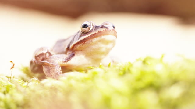high key shot of a woodland frog sitting idle on moss - high key stock videos & royalty-free footage