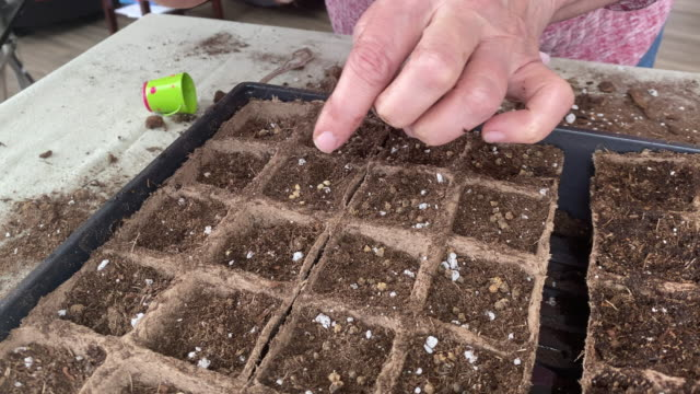 high resolution video of a senior woman keeping busy by starting some seedlings in her home, during the covid-19 confinement. - seed stock videos & royalty-free footage