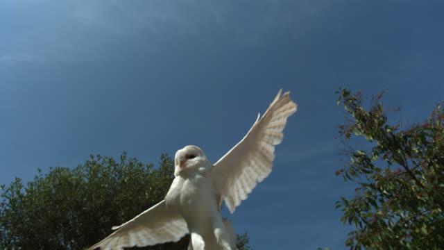 High speed Barn owl (Tyto alba) taking off
