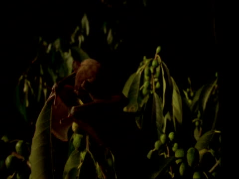 high speed - bat flies in and grabs fig from tree, panama - foraging stock videos and b-roll footage