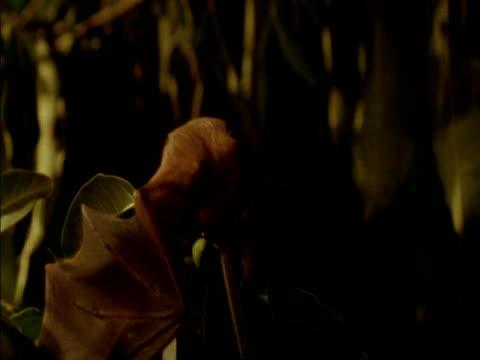 high speed - bat flies in and grabs fig from tree, panama - 食糧を捜す点の映像素材/bロール