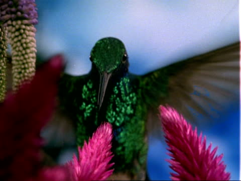 high speed bcu violet-eared hummingbird hovers at flower and feeds, flies away then comes back - iridescent stock videos & royalty-free footage