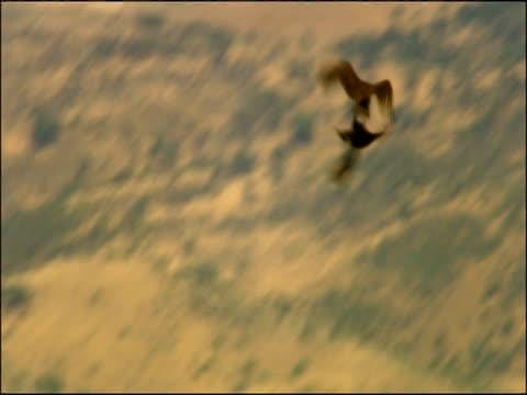vidéos et rushes de high speed black vultures (aegypius monachus) aerial courtship, andalucia, spain - vautour moine