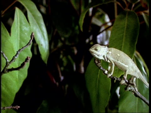 high speed - chameleon catching prey - catching stock videos and b-roll footage