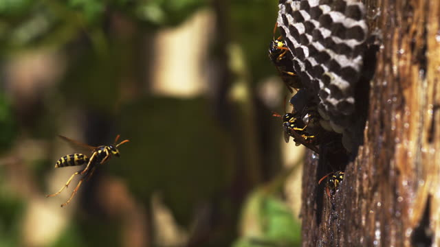 high speed common wasp (vespula vulgaris) flying to nest 200fps - animal markings stock videos & royalty-free footage