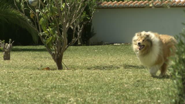High Speed Dog running, chasing ball, Spain.