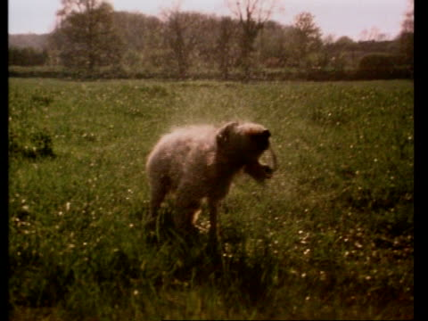 high speed dog shakes off water droplets in field, ms backlit - trocknen stock-videos und b-roll-filmmaterial