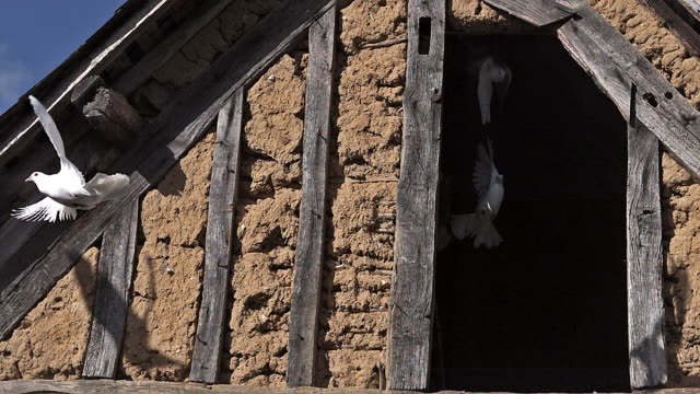 high speed doves taking off from barn 500 fps - colomba video stock e b–roll