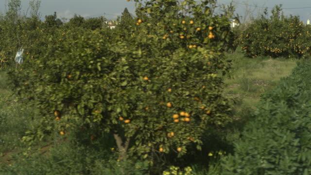 vídeos de stock e filmes b-roll de high speed driving past orange (citrus sinensis) grove, spain - citrino