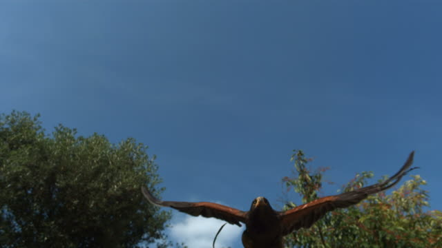 High speed Eagle flying to camera