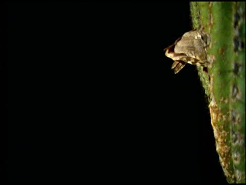 high speed elf owl (micrathene whitneyi) flight to and from nest in saguaro cactus at night, sonoran desert, usa - sonoran desert stock videos & royalty-free footage