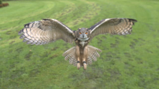 vídeos de stock e filmes b-roll de high speed eurasian eagle owl (bubo bubo) flying to camera, england, uk.  filmed at 1000fps on the photron sa2 high definition high speed camera. - asa de animal