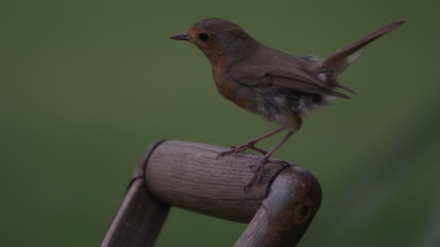 high speed european robin (erithacus rubecula) landing on spade, staggers and take off - careless stock videos & royalty-free footage