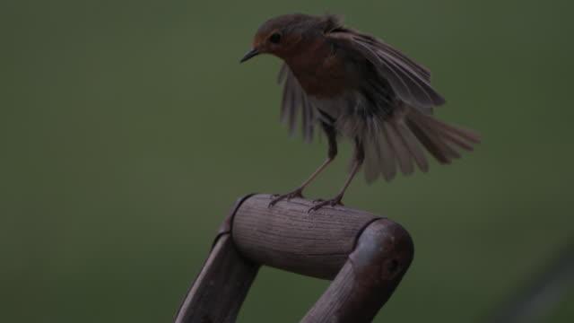 high speed european robin (erithacus rubecula) vertical landing on to spade - gartengerät stock-videos und b-roll-filmmaterial
