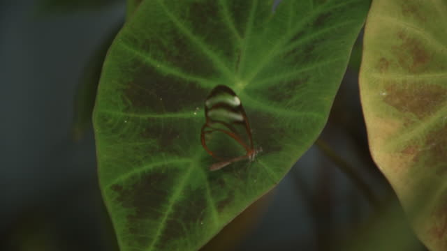 high speed glasswing butterfly (greta oto) takes off from leaf - camouflage点の映像素材/bロール