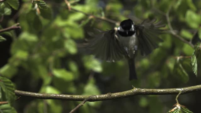 High Speed Great Tit (Parus major) landing on beech (Fagus sylvatica) branch. (2000fps, shutter speed 1/2000)