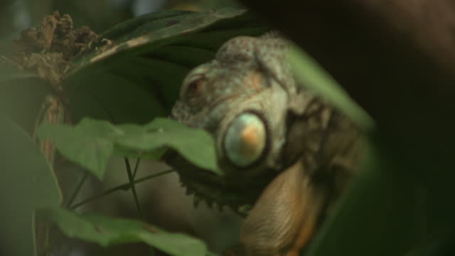 high speed green iguana (iguana iguana) licks leaf, comes in to focus - erbivoro video stock e b–roll