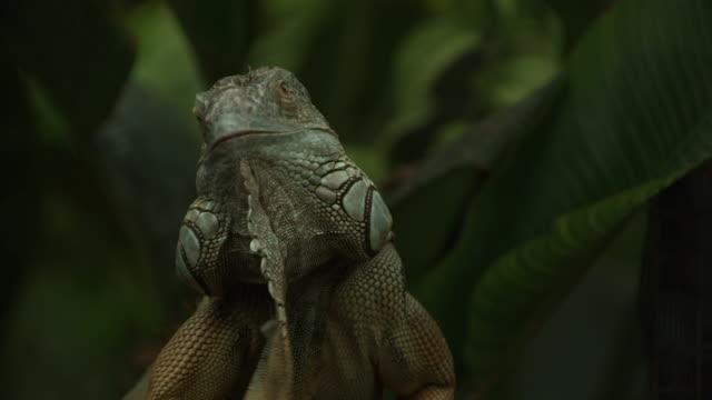 high speed green iguana (iguana iguana) shaking head to display dewlap - defensive display - iguana stock videos & royalty-free footage