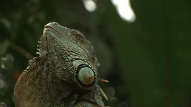 High speed Green Iguana (Iguana iguana) shaking head to display dewlap - defensive display