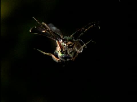 high speed green tiger beetle (cicindela campestris) in flight, hovering, meadow, uk - gliedmaßen körperteile stock-videos und b-roll-filmmaterial