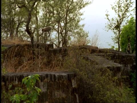 wa high speed hanuman langur, semnopithecus entellus, jumping on hindu temple ruins, bandhavgarh national park, india - national icon stock videos and b-roll footage