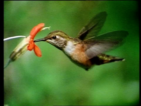 vídeos de stock, filmes e b-roll de high speed - humming bird hovering as it drinks from flower - hummingbird