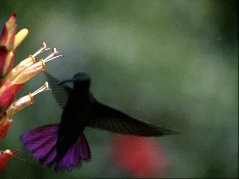 high speed  - cu hummingbird hovering as it feeds from flower - kolibri stock-videos und b-roll-filmmaterial