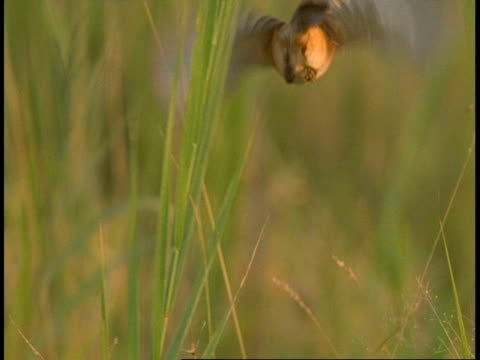 ms high speed indian bird flies off from grass, bandhavgarh national park, india - national icon stock videos & royalty-free footage