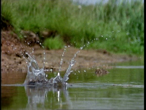 High speed - Kingfisher dives into river, emerging with fish