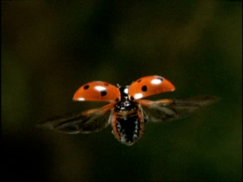 High Speed Ladybird Beetle (Coccinella 7-punctata) flying, UK