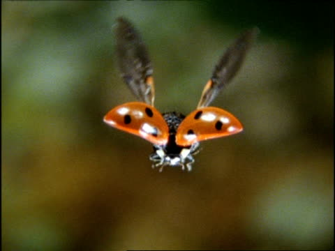 vidéos et rushes de high speed ladybird beetle, cu front view, flying, england - coccinelle