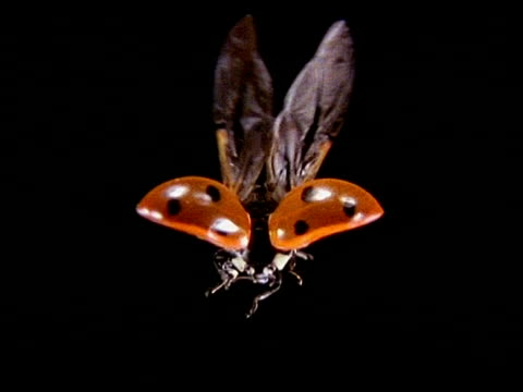 vidéos et rushes de high speed - ladybird beetle in flight, from behind, black background - coccinelle