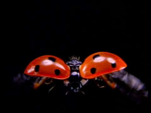 high speed - cu ladybird beetle in flight, to camera - animal wing stock videos & royalty-free footage