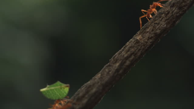 high speed leaf cutter ant carry leaf up branch - carrying stock videos & royalty-free footage