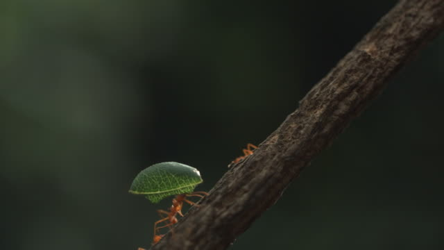 high speed leaf cutter ant carry leaf up branch - ant stock videos & royalty-free footage