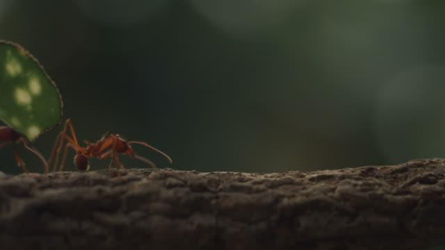 vídeos de stock e filmes b-roll de high speed leaf cutter ant carrying leaf across branch - saúva da mata