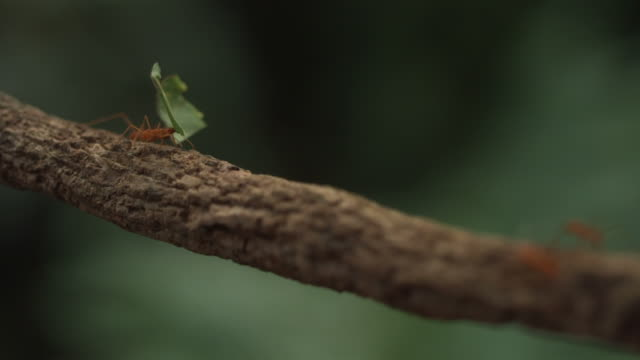 high speed leaf cutter ants carrying leaves across branch - ameisen stock-videos und b-roll-filmmaterial