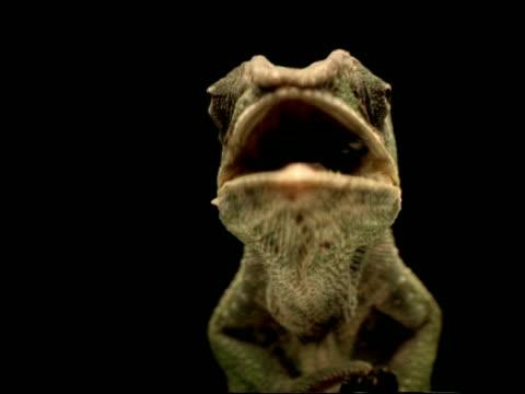 vídeos y material grabado en eventos de stock de high speed - cu low angle chameleon catches fly, to camera, black background - animales acechando
