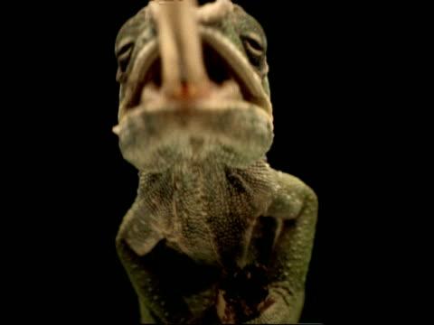 vídeos y material grabado en eventos de stock de high speed - cu low angle chameleon catches locust on 2nd attempt, to camera, black background - animales acechando