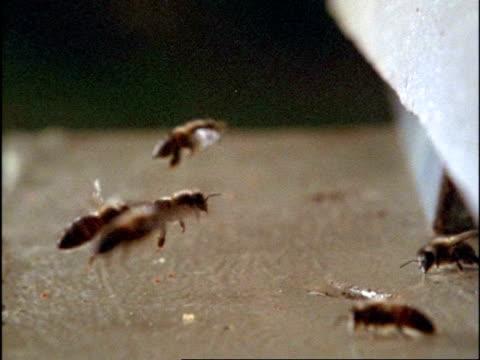 high speed - mcu honey bees (apis mellifera) arriving at hive, england - ブンブン鳴る点の映像素材/bロール