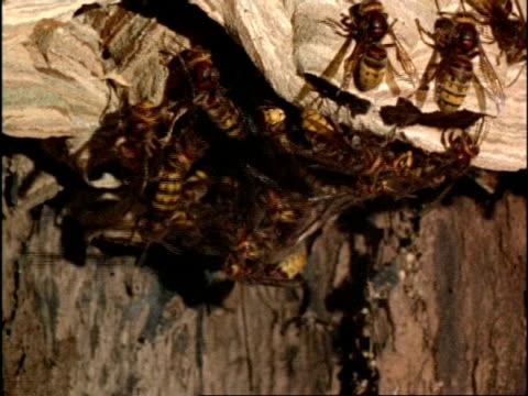 vidéos et rushes de high speed - mcu many hornets (vespa crabro) leave nest, england - vespa
